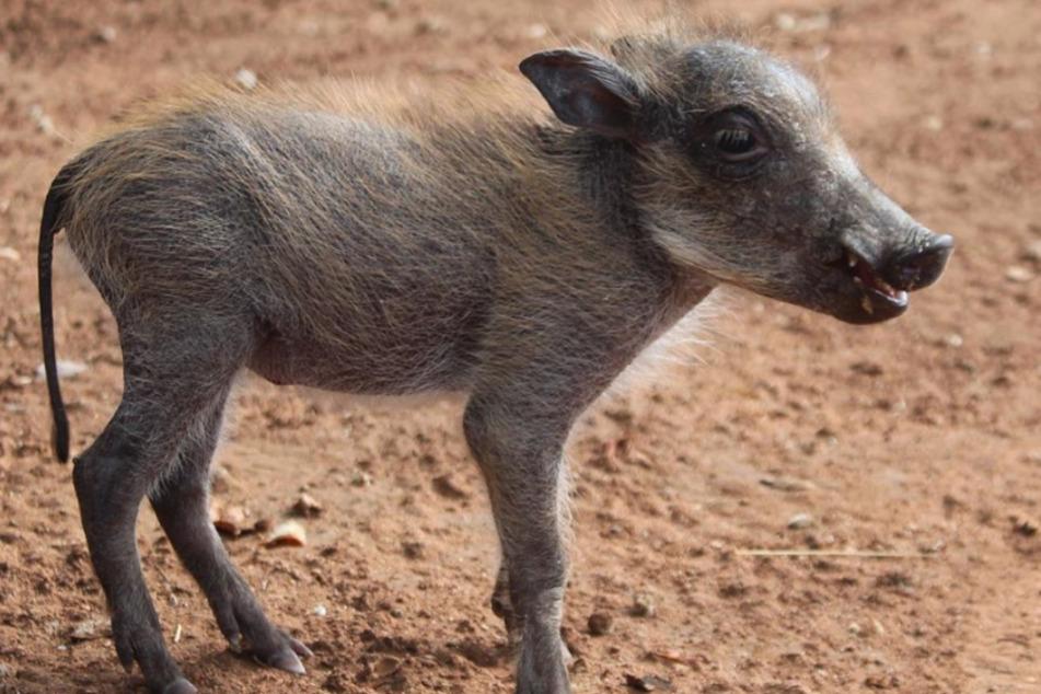 Warzenschwein Coconut war erst wenige Tage alt, als sie ihre Familie verlor.