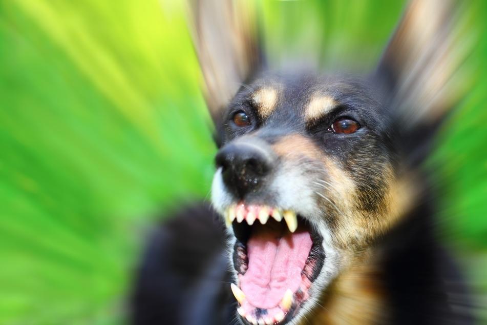 Ein 57-jähriger Mann wurde am Samstag im vogtländischen Klingenthal von einem Hund ins Gesicht gebissen (Symbolbild).