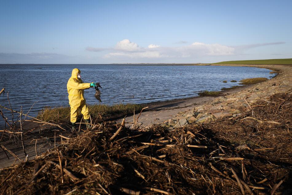 Ein Nationalpark-Ranger in Schutzkleidung sammelt tote Vögel an der Küste zwischen Schlüttsiel und Dagebüll.