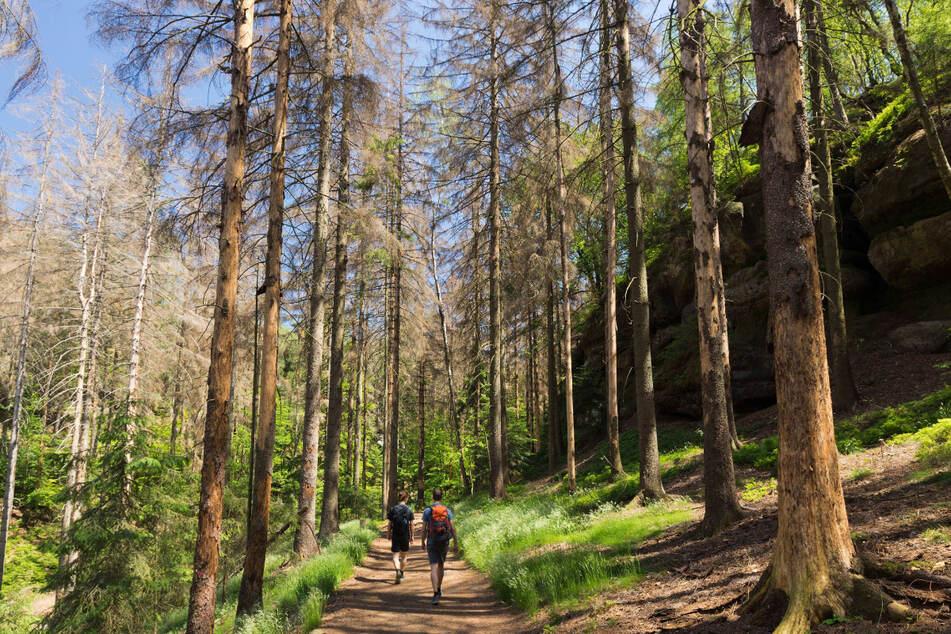 Das Wandern ist des Müllers Frust: Viele Waldstücke im Nationalpark Sächsische Schweiz sind bereits kahl.
