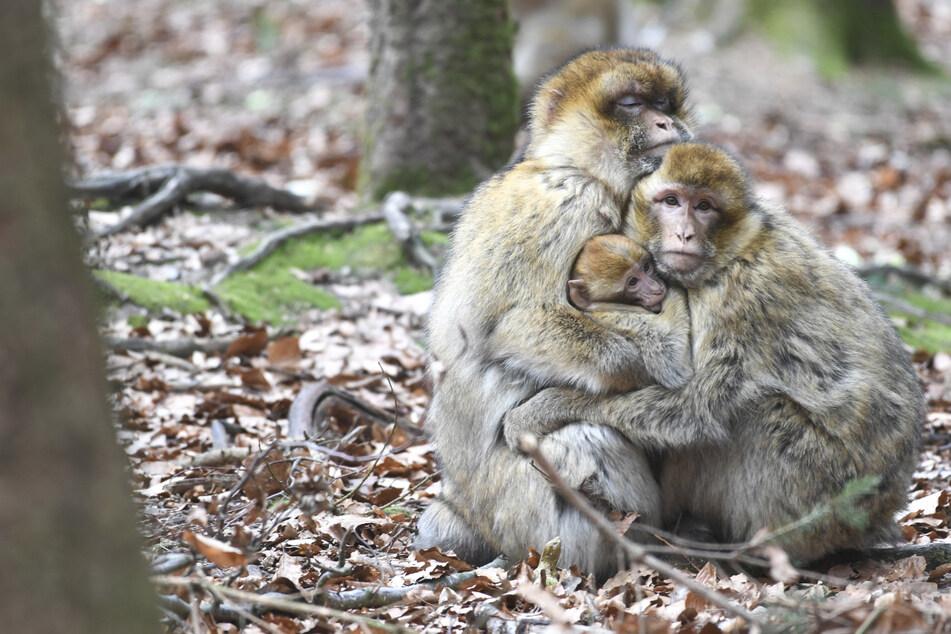 Tierischer Ausbruch! Mehr als 20 Affen laufen frei herum