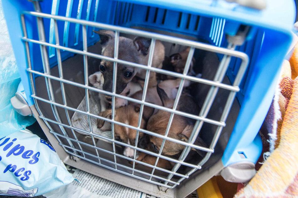Fünf Welpen sitzen in einem Käfig. Welpen aus illegalem Handel werden häufig zu früh von der Mutter getrennt und unter katastrophalen Bedingungen nach Deutschland geschmuggelt.