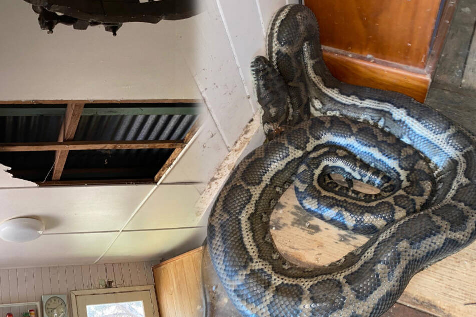 Australian man comes home to a ruined ceiling and two huge pythons