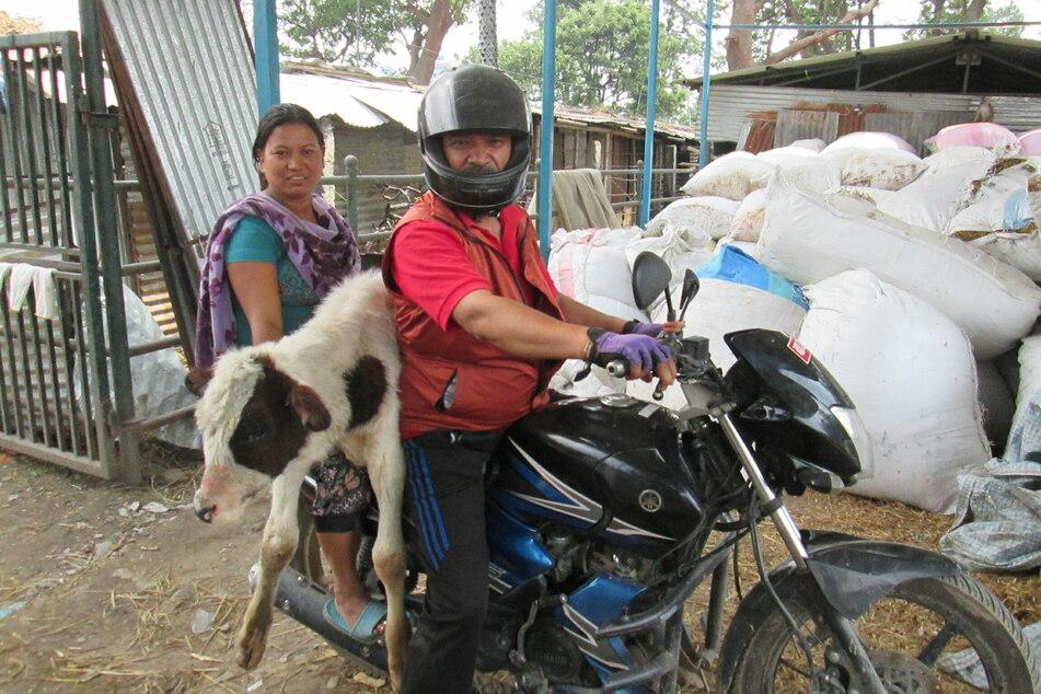 Ram Bahadur Neupane (l.) und eine Helferin transportieren auf dem Motorrad ein streunendes Kalb.