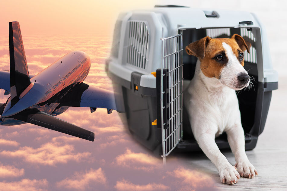 Expensive reunion: cats and dogs will board a $100k flight from Vancouver to Melbourne