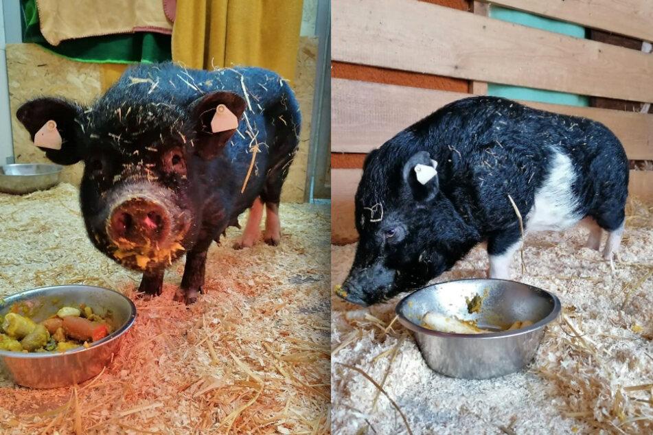 Minischweine Sonja (l.) und Willi (r.) sind Eltern geworden.