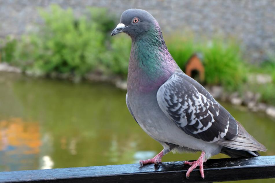 In Altenburg machte eine Taube zu viel Lärm, da griff ein Mann zur Waffe. (Symbolbild)