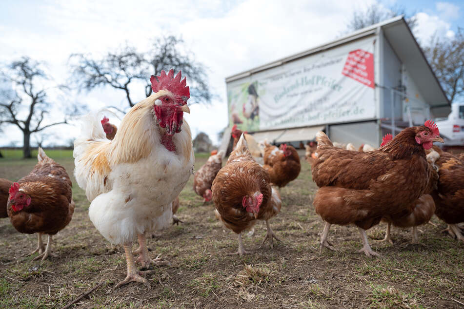 """Bereits freien Auslauf haben die etwa 250 Hühner, die in einem """"Hühnermobil"""" auf einem der vielen Äcker ihr Domizil haben."""