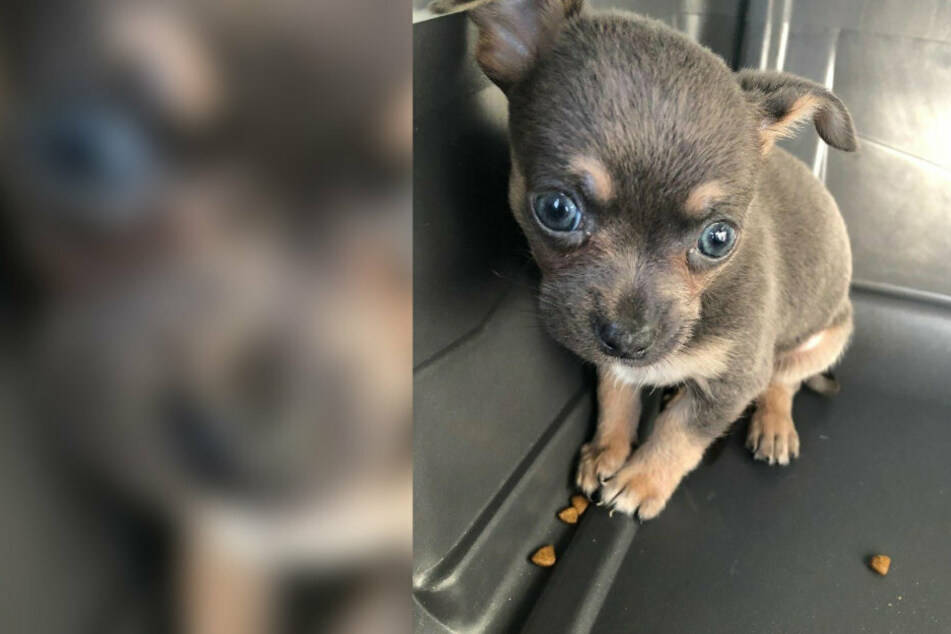 Den kleinen Chihuahua fanden die Beamten in einem Kleintransporter.