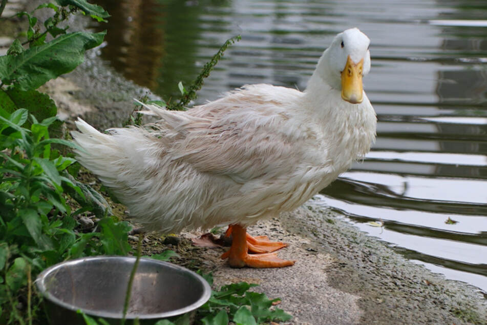 Enten machen sich im Garten gut als Schädlingsvernichter, da sie gerne die unliebsamen Schnecken fressen.
