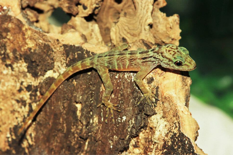 Ein Jungtier einer weltweit extrem seltenen Gecko-Art ist in Münster zur Welt gekommen.