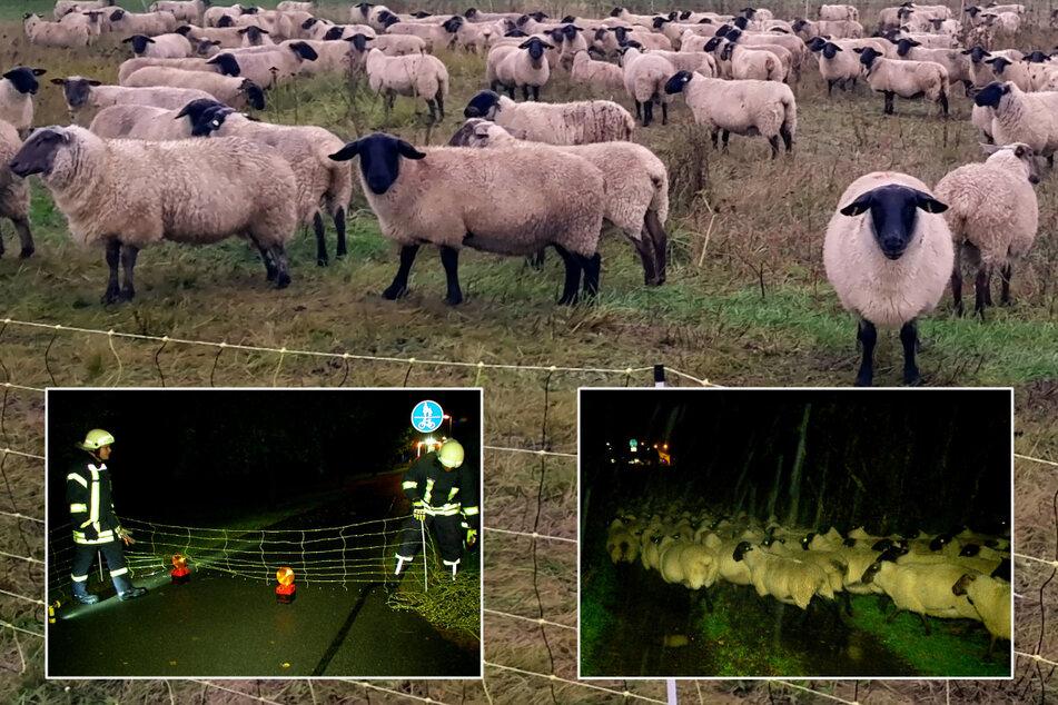Feuchtgebiet Sachsen: Feuerwehr rettet bei Dauerregen 240 Schafe