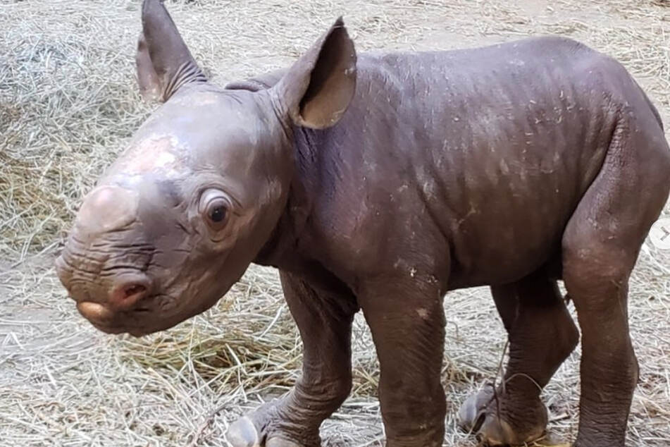 This baby rhinoceros was a real surprise!