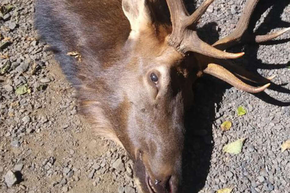 The elk was shot down by the authorities after impaling the hunter.