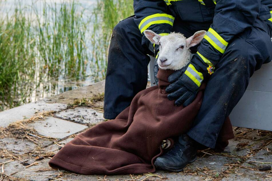 Das Lamm wurde völlig entkräftet in eine Decke gehüllt.