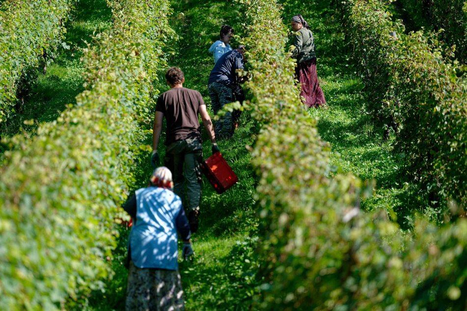 In Röndorf in Nordrhein-Westfalen beginnen Landarbeiter mit der Weinlese für die Manufaktur Pieper.