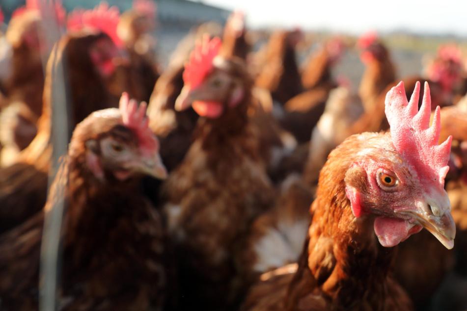 Die Zeit an der frischen Luft ist für Hühner erstmal vorbei. (Symbolbild)