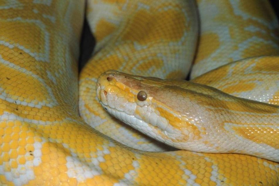 Mitten in Deutschland: Polizei fängt zwei Meter langen Python ein