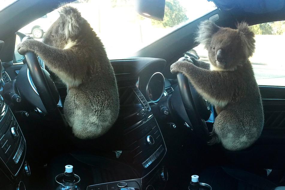 Der süße Koalabär setzte sich nach dem Unfall auch noch ans Steuer!