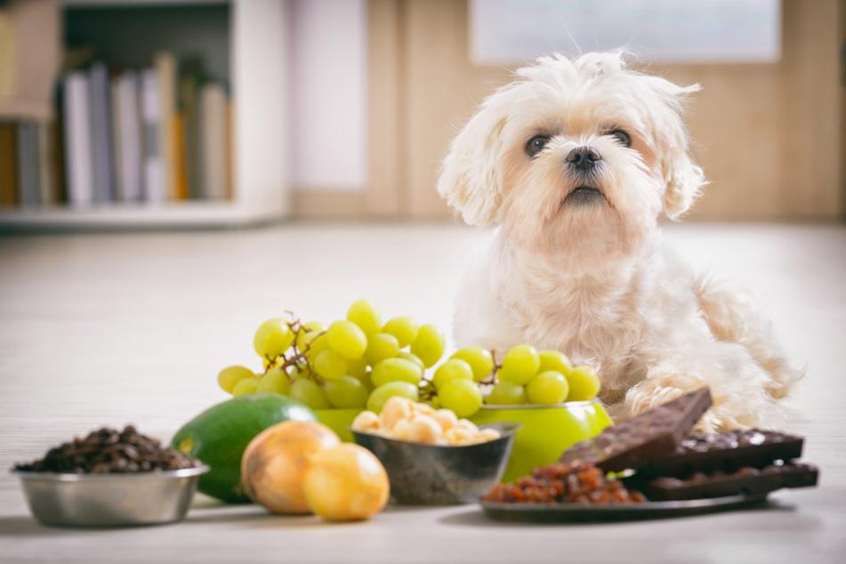 Trauben, Avocados, Schokolade, Zwiebeln und Macadamianüsse sind für Hunde giftig. (Symbolbild)