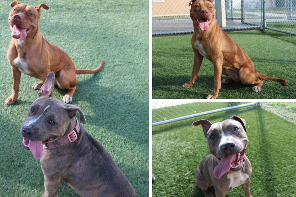 Police officer finds two injured pit bulls on the road and doesn't leave their side