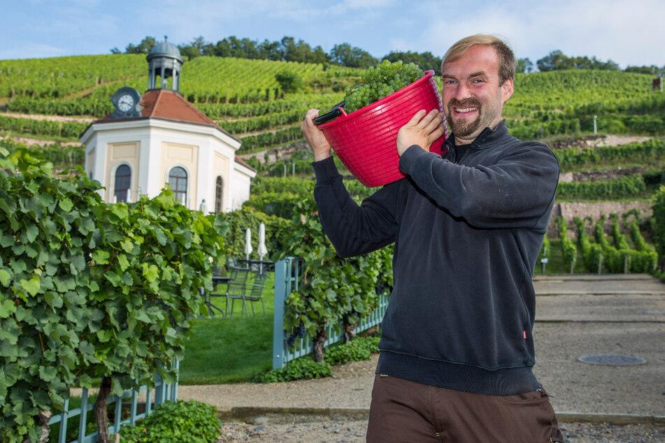 Auf Wackerbarth wird derzeit jeder gebraucht: Auch Weinbauleiter Till Neumeister (36) legt bei der Lese mit Hand an.