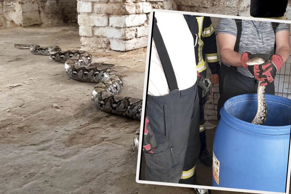 Der Keller war bereits vor Wochen durchsucht worden. Wie lange sich das flüchtige Reptil also dort aufgehalten hatte, ist nicht klar.