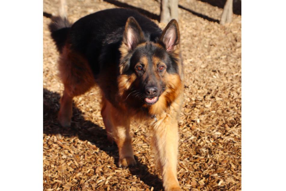Schäferhund Chicco.