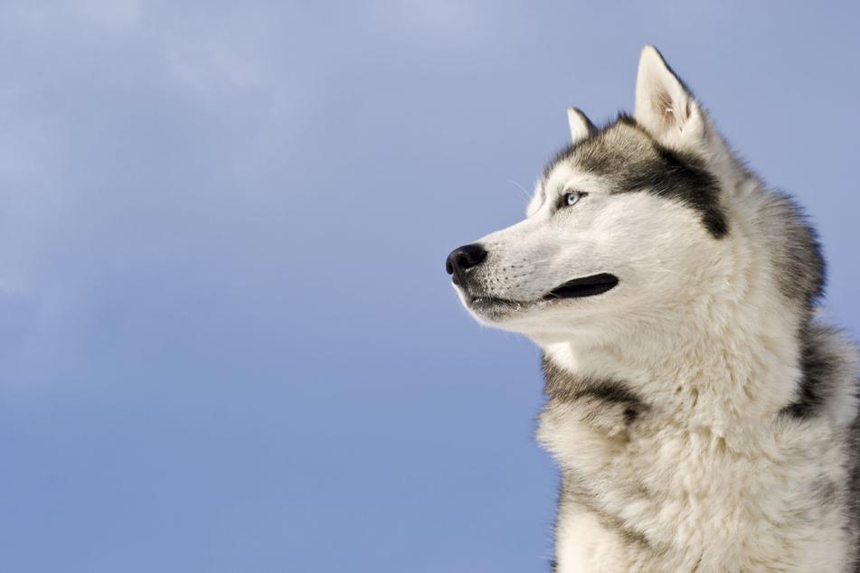 Der Hundebesitzer ließ seinen Husky unbeaufsichtigt herumlaufen. (Symbolbild)
