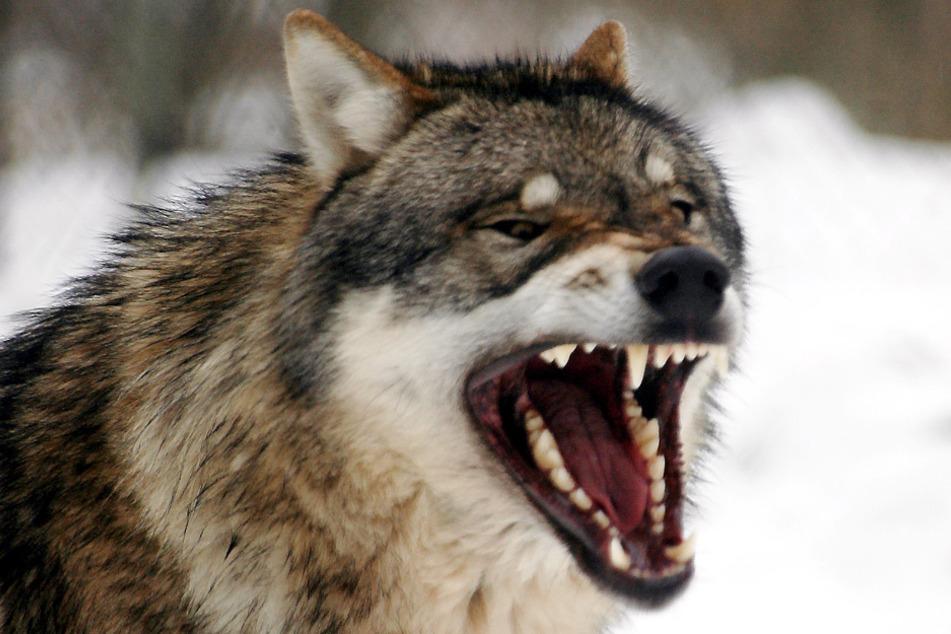 Wölfin sorgt für Angst und Schrecken bei Schäfern: Mehr als 20 Tiere gerissen