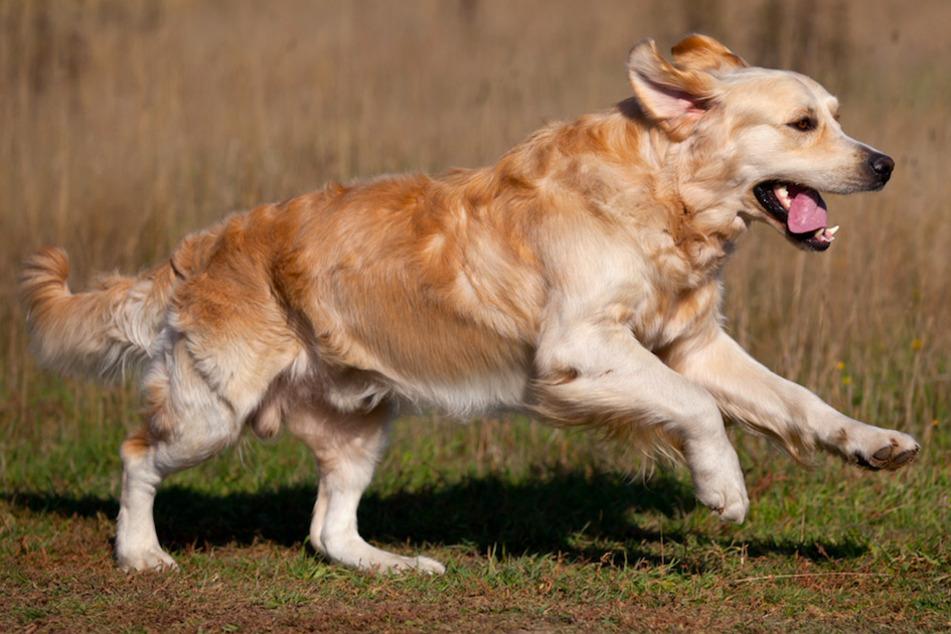 Hunde werden zum Problem: Golden Retriever und Labrador attackieren und verletzten Reh