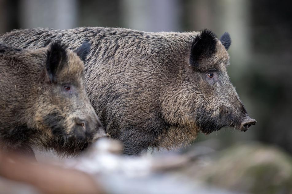 Zwei Wildschweine beobachten die Umgebung (Symbolbild).