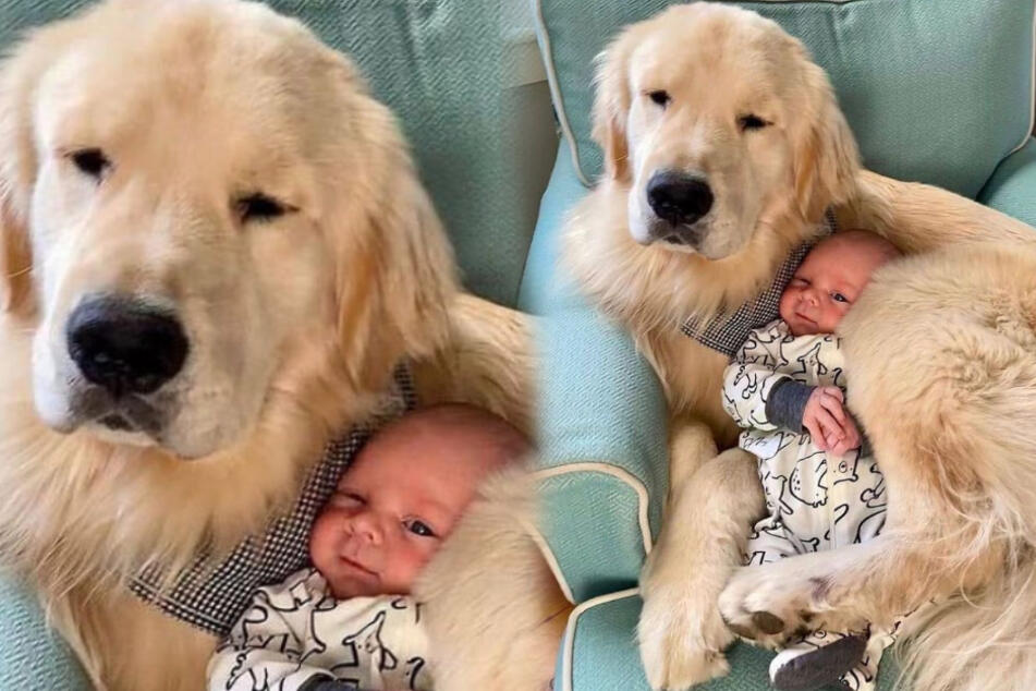 Golden retriever is the perfect pillow for its baby buddy