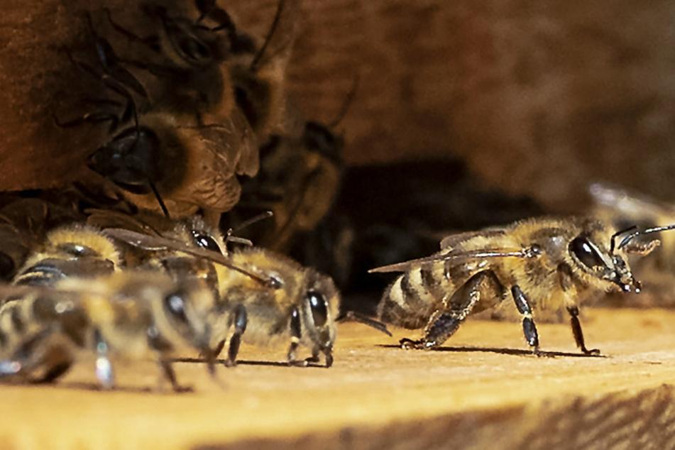 Bienenseuche ausgebrochen! Amerikanische Faulbrut wurde festgestellt