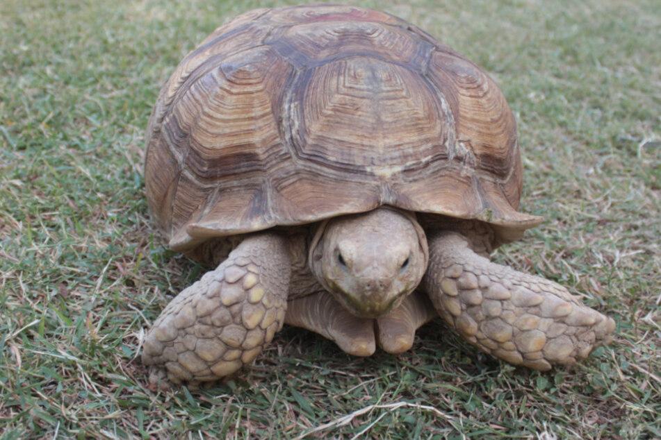 Die Schildkröte entwischte ihren Besitzern (Symbolfoto)