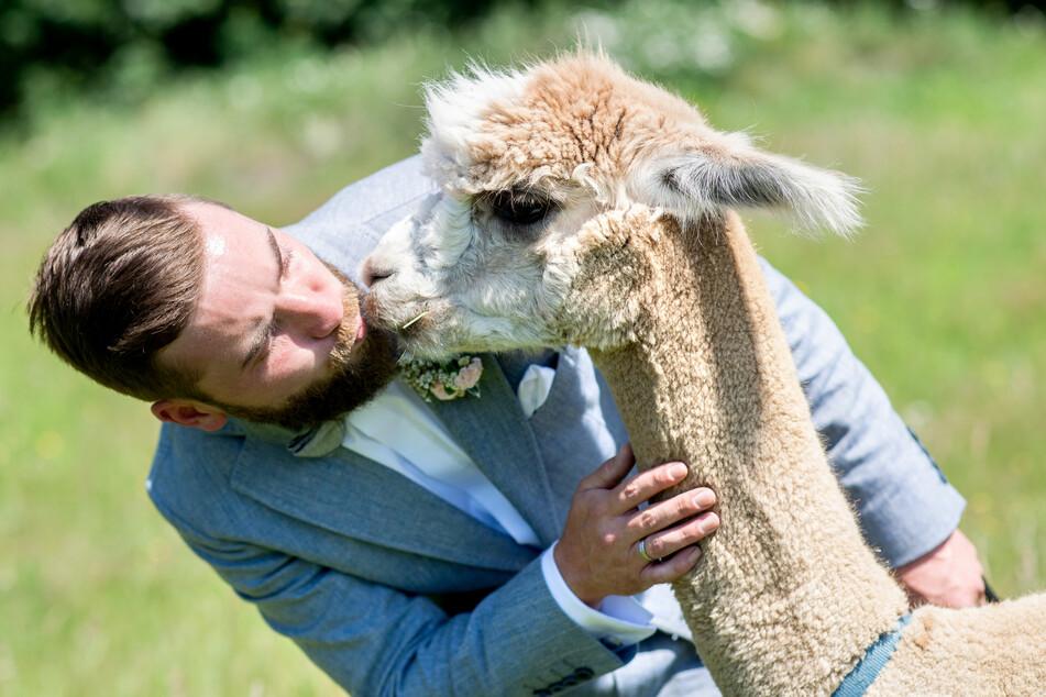 Bräutigam Marcel Reichardt gibt Alpaka Nacho einen Kuss. Das Hochzeitspaar Reichardt aus der Wedemark hat ein Hochzeitsevent auf einem Alpakagestüt gebucht und feiert mit den Tieren ihre standesamtliche Trauung.
