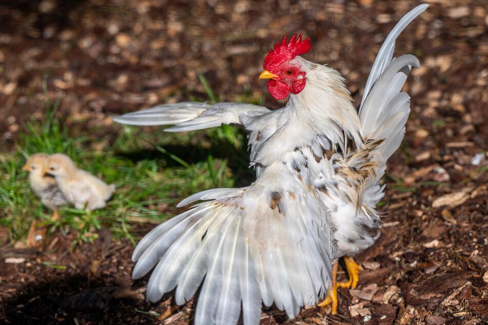 Der Serama-Gockel behütet seine Küken mit vollem Körpereinsatz - auch wenn er nur 500 Gramm auf die Waage bringt.