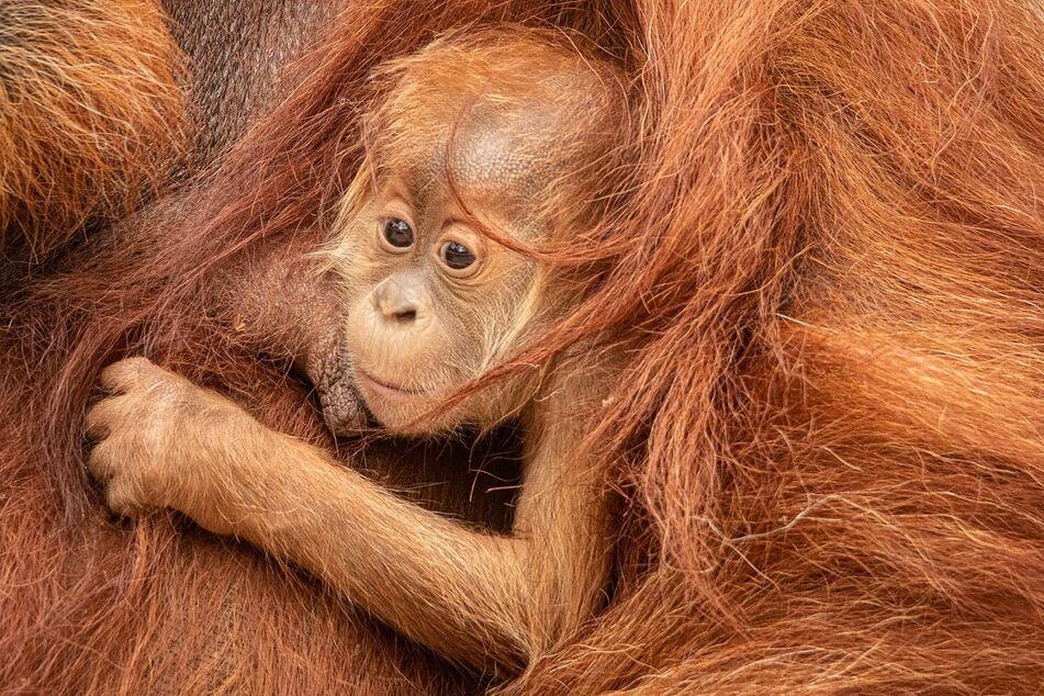"""Der am 24 Mai 2020 geborene Orang-Utan wurde jetzt auf den Namen """"Batu"""" getauft."""