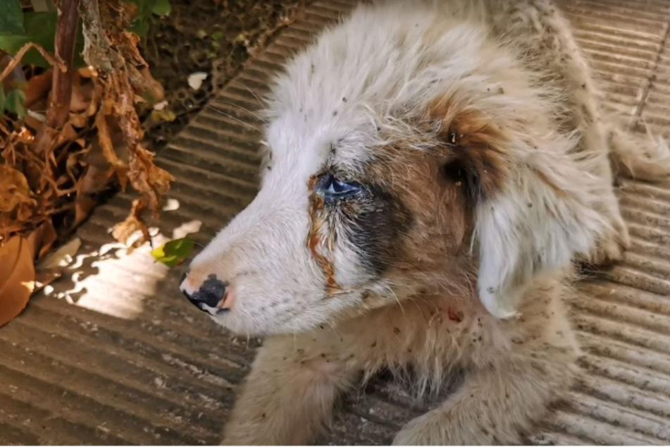 Der kleine, verstoßene Welpe sah schlimm aus, als man ihn rettete.