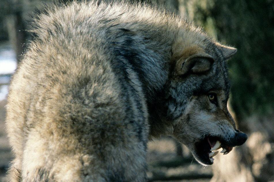 Wolf tötet Hunde: Bauer erwürgt das wilde Tier mit bloßen Händen!