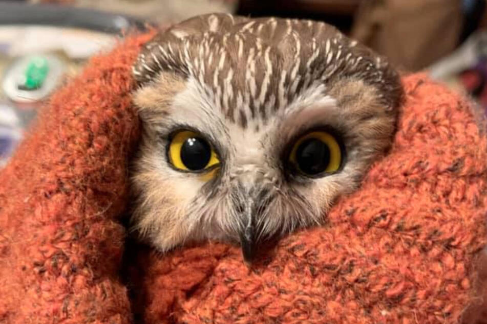 Saw-whet owls are among the smallest species of owls in North America.