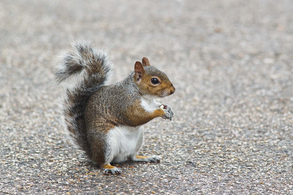 Red squirrels often die from the small pox that gray squirrels carry.
