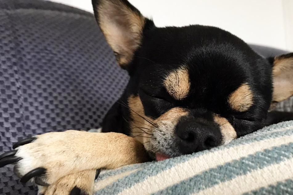 Wenn Vierbeiner schlafen: Können Hunde träumen?
