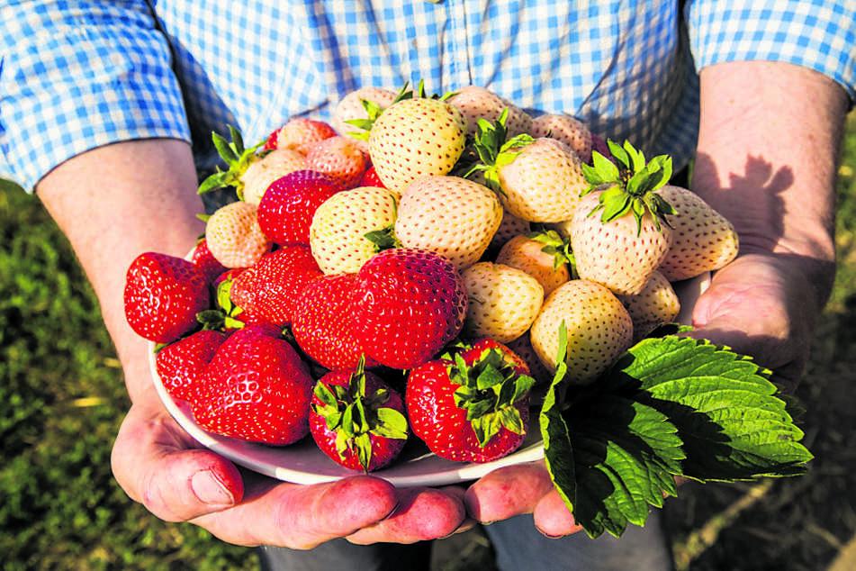 """Erdbeeren sind nicht nur rot - die Sorte """"Snow White"""" macht ihrem Namen alle Ehre."""