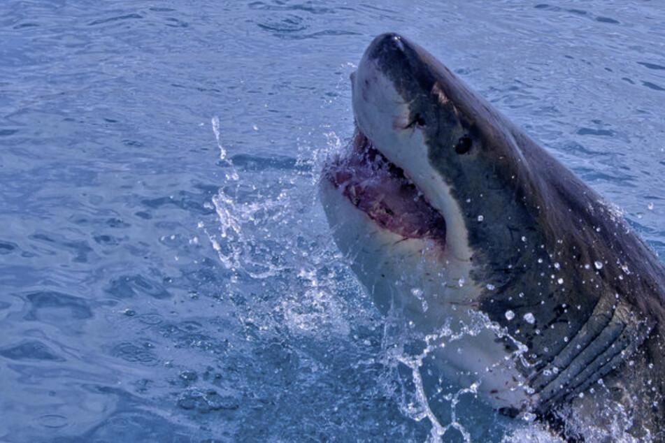Ein Hai hatte den Surfer schwer am Arm und Rücken verletzt. (Symbolbild)