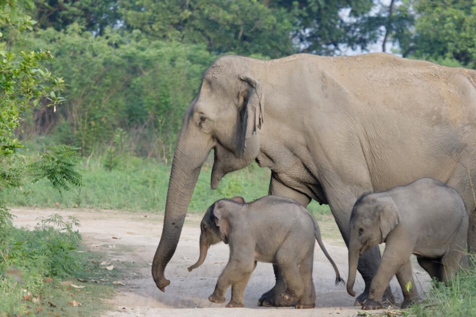 Park-Ranger sichten extrem seltene Elefanten-Zwillinge