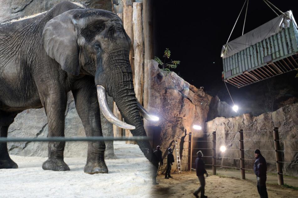 Erster Kontakt zu Elefantendamen: So lief der erste Tag für Neuling Tonga