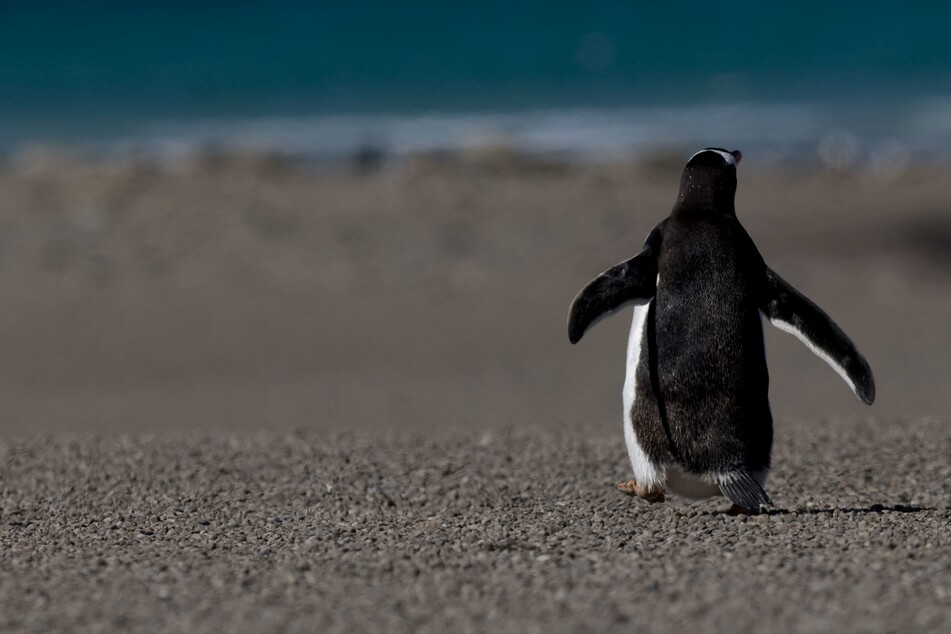 New Zealand gives penguin of the year award to one-eyed Captain