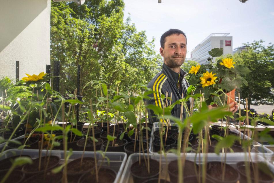 Lutz Hoffmann (37) züchtet Sonnenblumen für den Zoo.