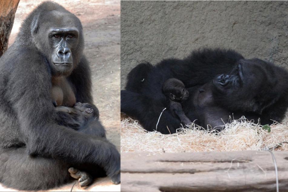 Zoo Rostock freut sich über erste Gorilla-Geburt